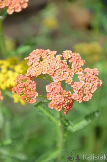 Achillea millefolium 'Terracotta' (Krwawnik pospolity) - C5