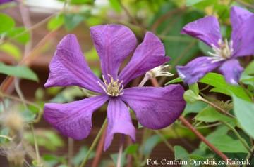 Clematis 'Etoile Violette' (Powojnik) - C2