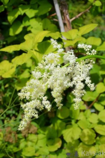 Astilboides tabularis (Tawułkowiec tarczowaty) - C5