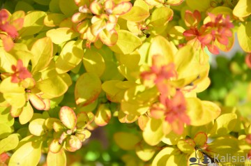 Berberis thunbergii 'Yellow Tower' (Berberys Thunberga)  - C2