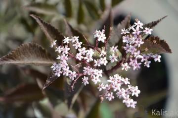 Sambucus nigra BLACK BEAUTY 'Gerda' (Bez czarny) - C5