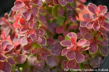Berberis thunbergii 'Ruby Star'