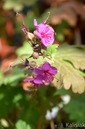 Geranium macrorhizum 'Czakor' (Bodziszek korzeniasty) - C2