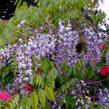 Wisteria macrostachia 'Blue Moon' (Glicynia kentucka) - C2