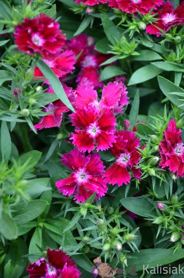Dianthus 'Summer Diamonds Dark Red' (Goździk)  - C2