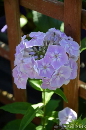 Phlox pan. 'S. Summer Compact Lilac with Eye' (Floks wiechowaty) - C2