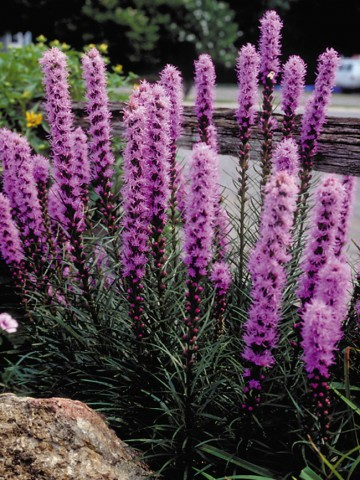 Liatris spicata 'Kobold' (Liatra kłosowa) - C2