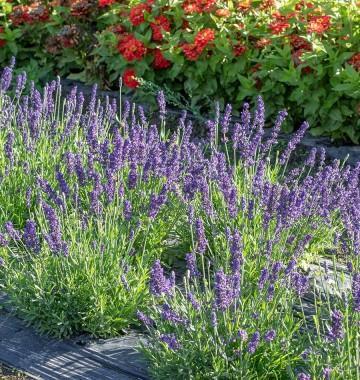 Lavandula angustifolia 'Spear Blue' (Lawenda wąskolistna) - C2