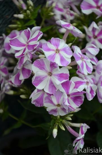 Phlox paniculata 'Adessa special Lilac Twist' (Floks wiechowaty) - C2