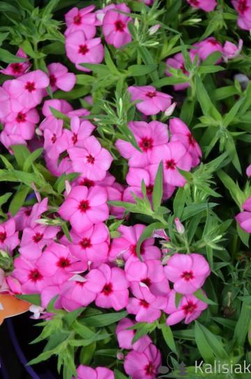 Phlox x hybrida 'Caroline Pink' (Floks mieszańcowy) - C2