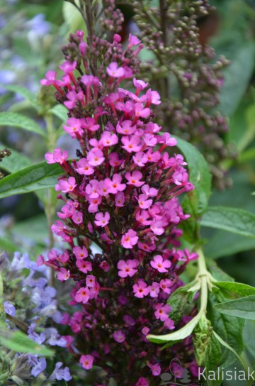 Buddleja davidii BUZZ 'Hot Raspberry' (Budleja Davida)  - C2