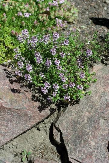 Thymus citriodorus 'Silver Queen' (Macierzanka cytrynowa) - C2
