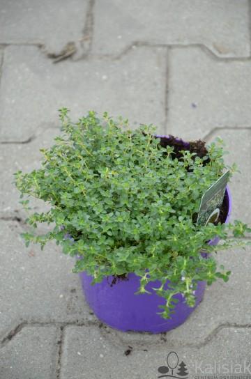 Thymus citriodorus 'Doonne Valley' (Macierzanka cytrynowa) - C2