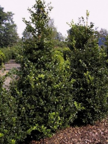 Buxus microphylla 'National'