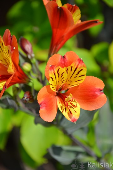 Alstroemeria INDIAN SUMMER 'Tesronto' (Alstremeria ogrodowa) - C2