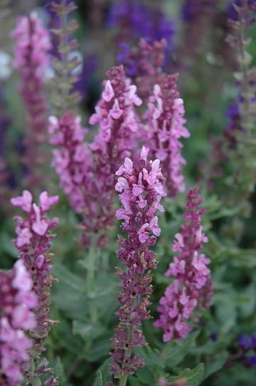 Salvia nemorosa 'Merleau Rose' (Szałwia omszona) - C2
