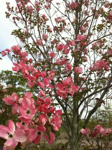 Cornus florida 'Cherokee Brave'