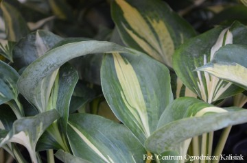 Hosta 'Dream Queen' (Funkia)  - C1,5