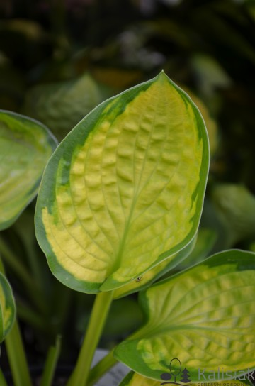 Hosta 'Rainforest Sunrise' (Funkia)  - C1,5