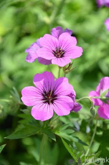 Geranium 'Patricia' (Bodziszek) - C2