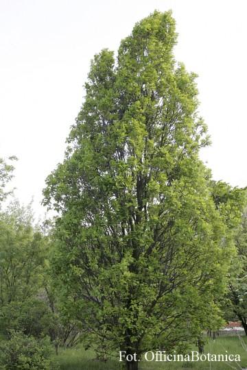Quercus 'Monument' (Dąb) - C5