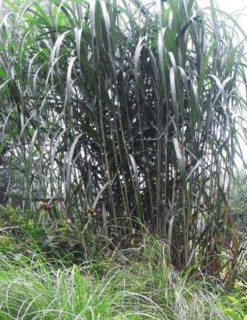Miscanthus giganteus (Miskant olbrzymi) - C3