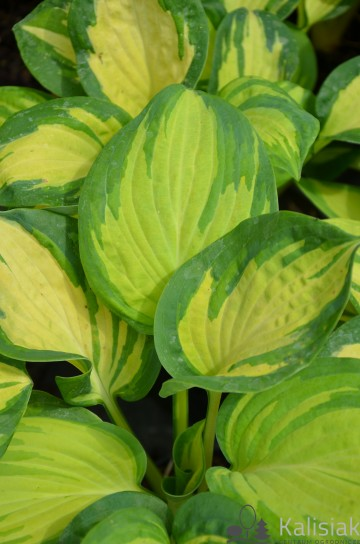 Hosta 'Great Expectations' (Funkia)  - C1,5