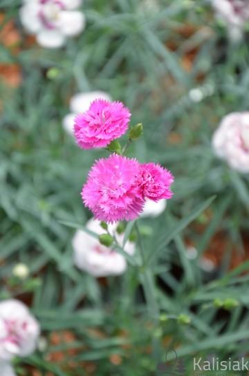Dianthus plumarius 'Pretty Becky' (Goździk postrzępiony) - C2