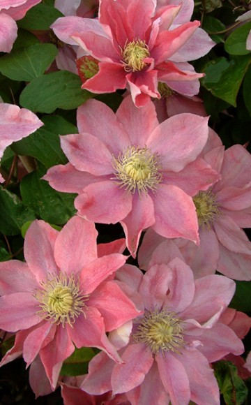 Clematis 'Little Mermaid' (Powojnik)  - C2