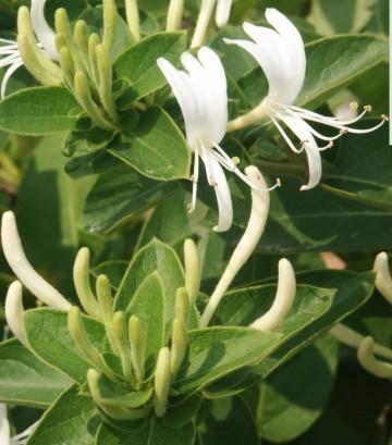 Lonicera acuminata (Wiciokrzew zaostrzony) - C2