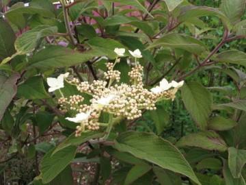 Hydrangea heteromalla (Hortensja miękkowłosa) - C5