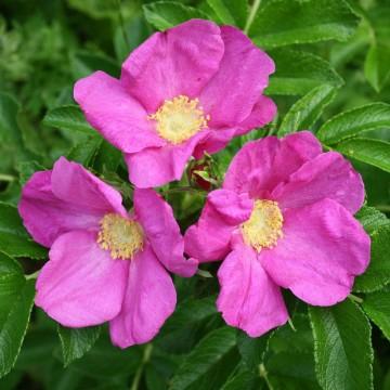 Rosa rugosa 'Rubra' (Róża pomarszczona) - C2