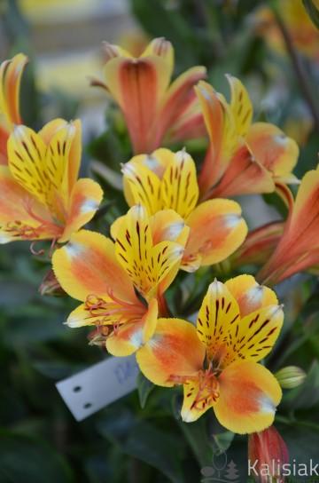 Alstroemeria SUMMER BREESE 'Tessumbre' (Alstremeria ogrodowa) - C2