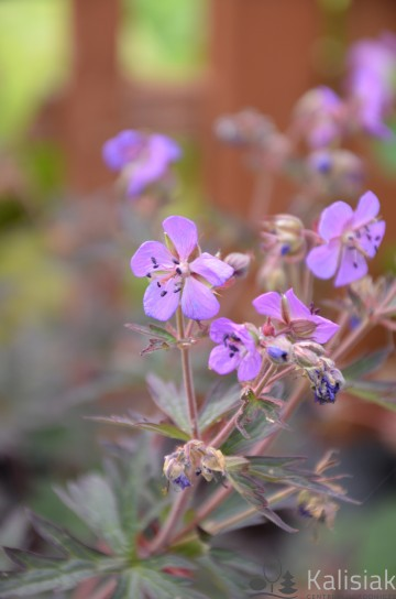 Geranium pratense 'Midnight Reiter' (Bodziszek łąkowy) - C2