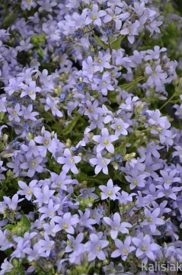 Campanula lactiflora 'Prichard's Variety' (Dzwonek kremowy) - C5