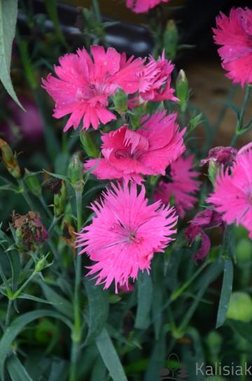 Dianthus 'Suntory Pink' (Goździk) - C2