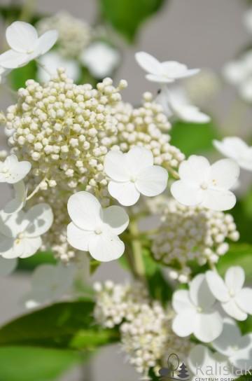 Hydrangea paniculata PRIM'WHITE 'Dolprim' (Hortensja bukietowa) - C5 PA
