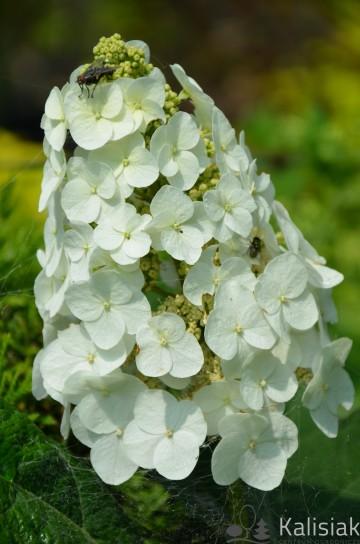 Hydrangea quercifolia SNOW QUEEN 'Flemygea' (Hortensja dębolistna) - C5