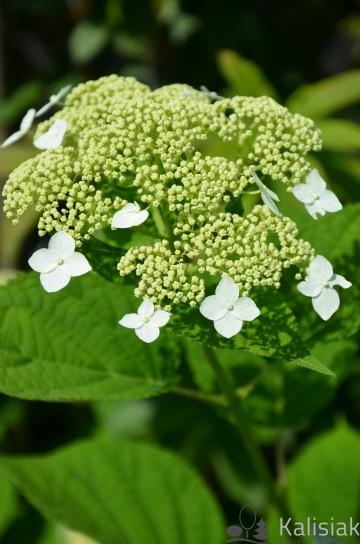 Hydrangea arborescens WHITE DOME 'Dardom' (Hortensja krzewiasta) - C5