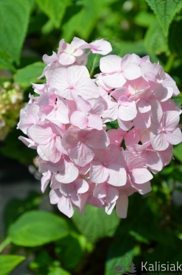Hydrangea serrata 'Rosalba' (Hortensja piłkowana) - C5