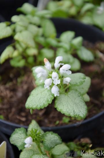 Lamium maculatum 'White Nancy' (Jasnota plamista) - C2