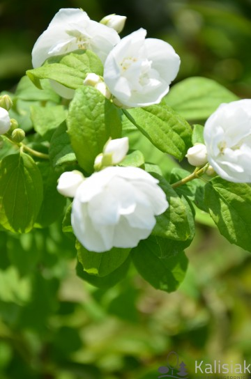 Philadelphus lewissi 'Watertoon' (Jaśminowiec Lewisa)  - C5
