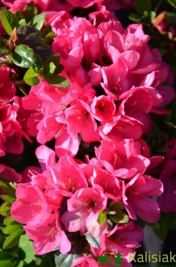 Rhododendron japanese azalea 'Labe'