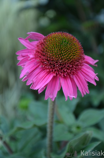 Echinacea 'Delicious Candy' (Jeżówka)  - C2