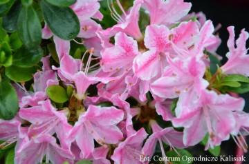 Rhododendron japanese azalea 'Kermesina Rose'