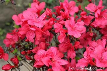 Rhododendron japanese azalea 'Maruschka'