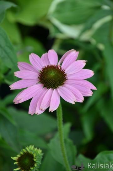 Echinacea 'Prairie Splendor Deep Rose' (Jeżówka purpurowa) - C2