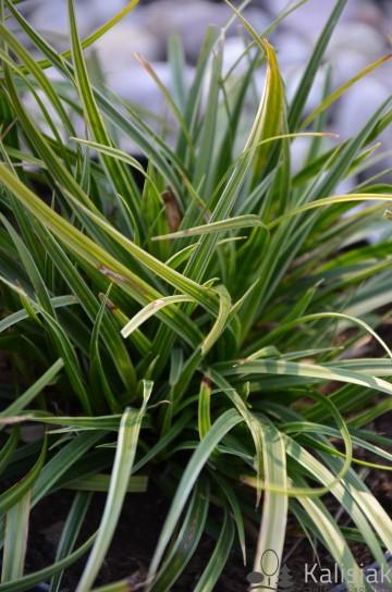 Carex morrovi 'Variegata' (Turzyca Morrowa) - C1,5