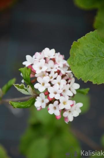 Viburnum burkwoodii 'Anne Russell' (Kalina Burkwooda) - C5