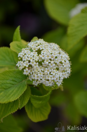 Viburnum lantana 'Aureum' (Kalina hordowina) - C3